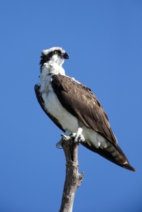 An osprey cam is being installed at Catawba Nuclear Station for the public to watch the osprey nesting.