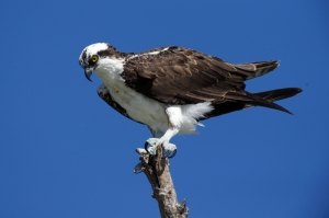 Osprey at Catawba Nuclear Station.